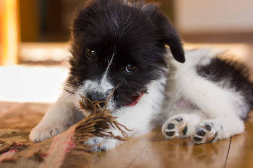 Puppy Chewing: What to Do?