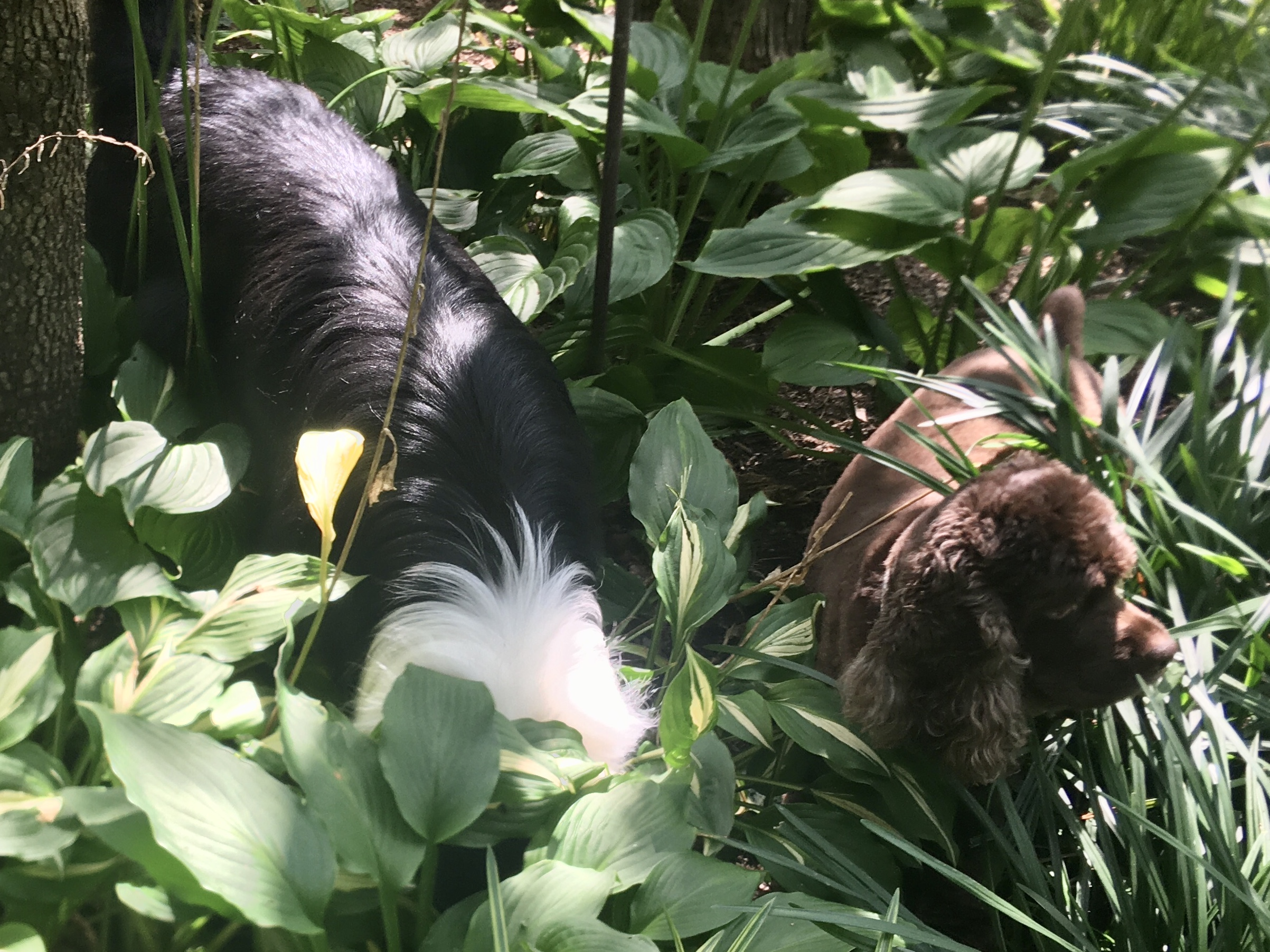 Fleetwood and Cookie in the hostas